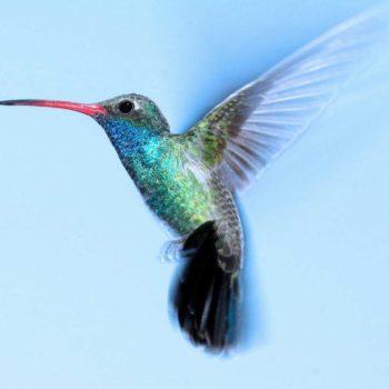 ketting hanger kolibrie